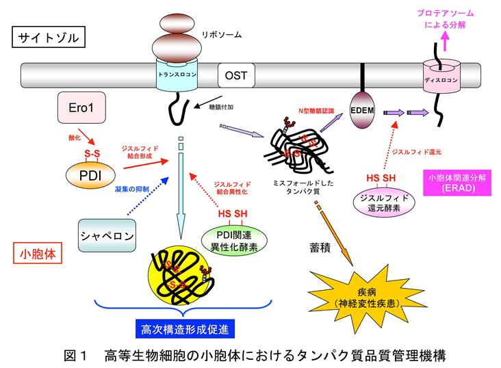 役割 小 胞体