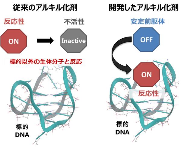 反応性OFF-ON型核酸アルキル化剤の概念図